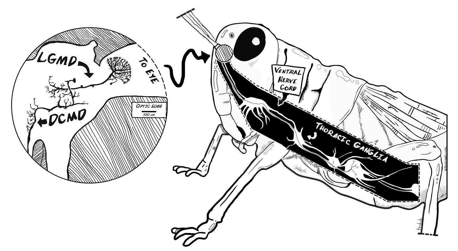 Experiment: Investigating Grasshopper Vision