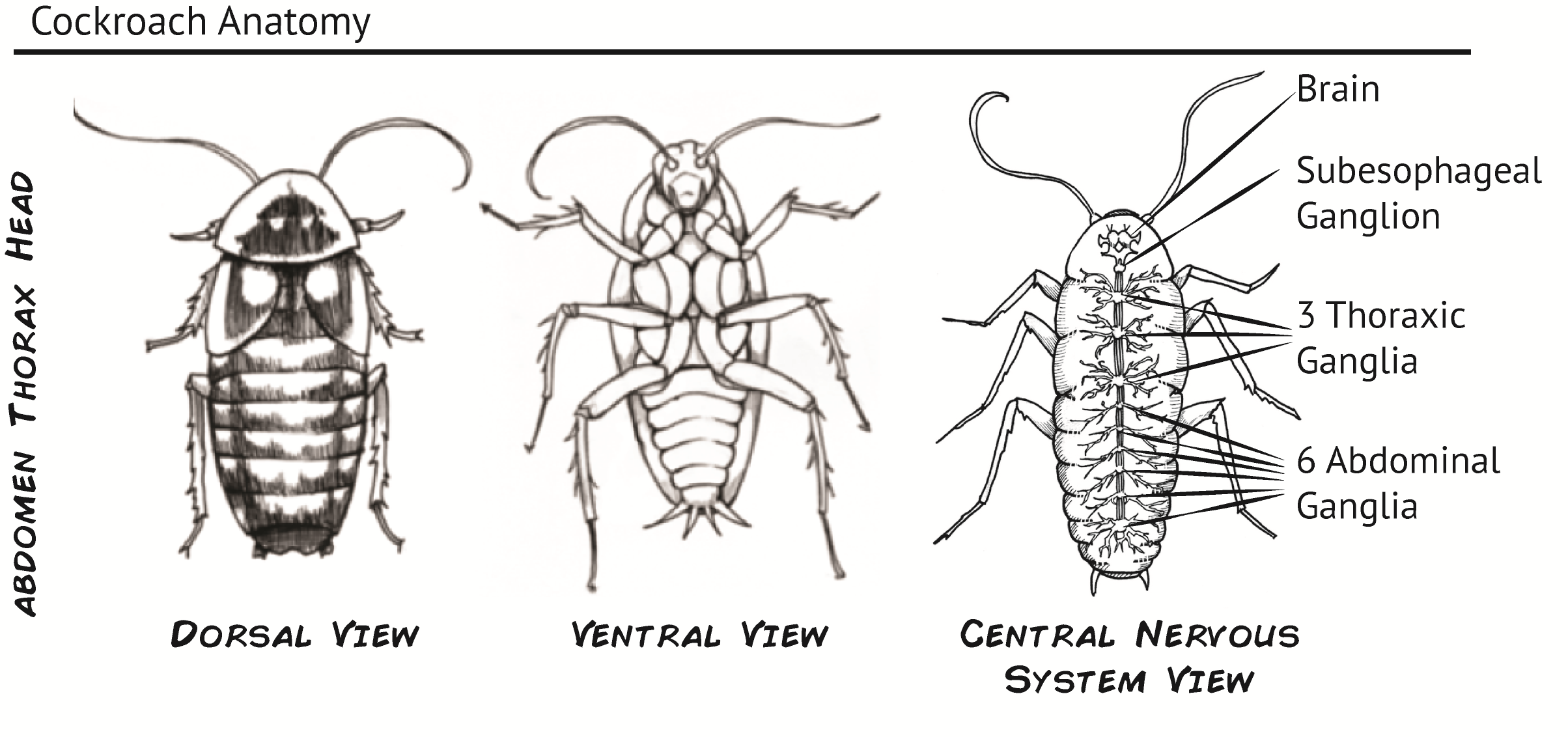 animal physiology lab report mechanoreceptors of cockroach Animal physiology lab report mechanoreceptors in the leg which are responsible in detecting signals from mechanical stimulation such as touch one function of.