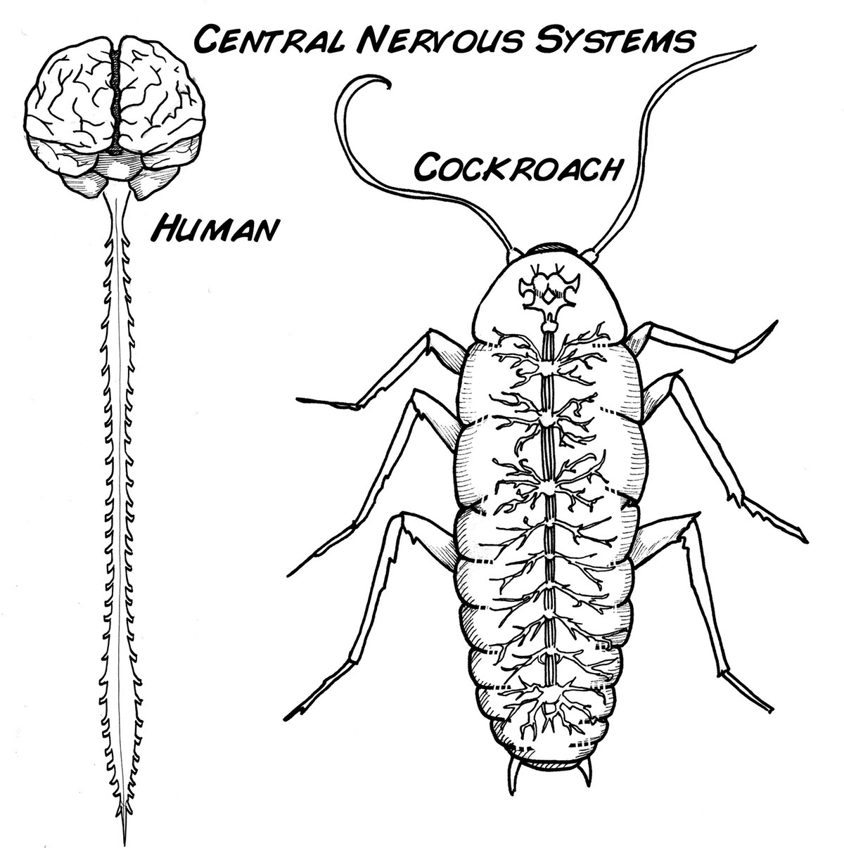 Coloring Pages Nervous System Coloring Pages nervous system coloring pages eassume com experiment wirelessly control a cyborg cockroach