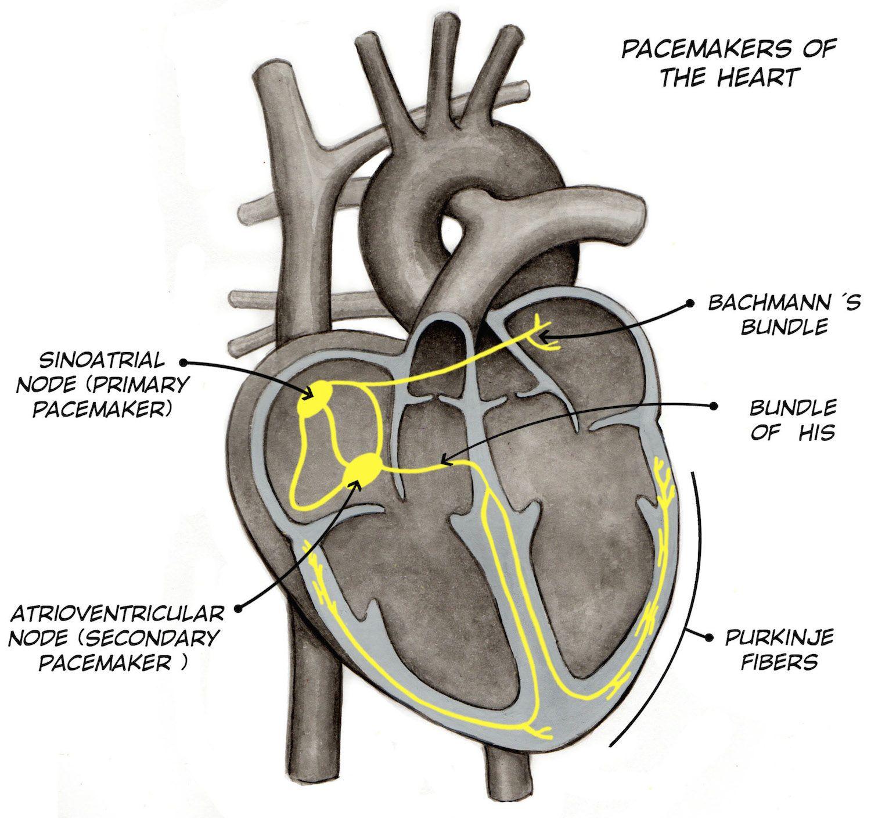 Experiment: Heart Action Potentials