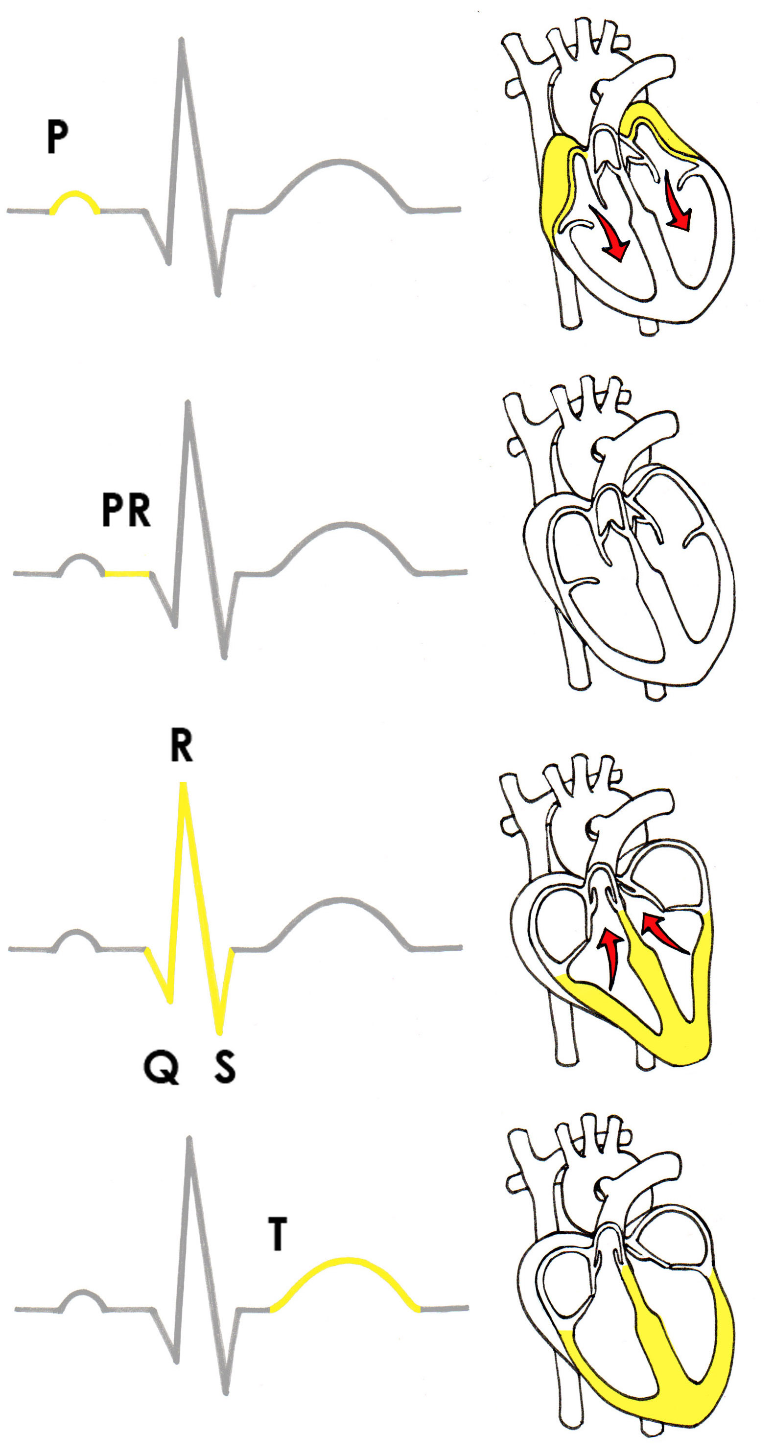 does caffeine increase heart rate experiment