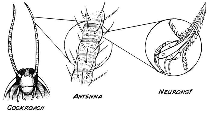 Information about cock roaches, family guy sexy naked