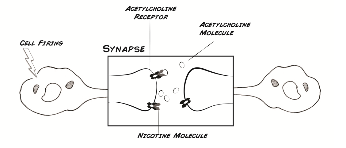 Effect of nicotine and msg on neurons based on the information on nicotine and how it affects neurons in humans describe how you think it will affect neuron firing ccuart Image collections