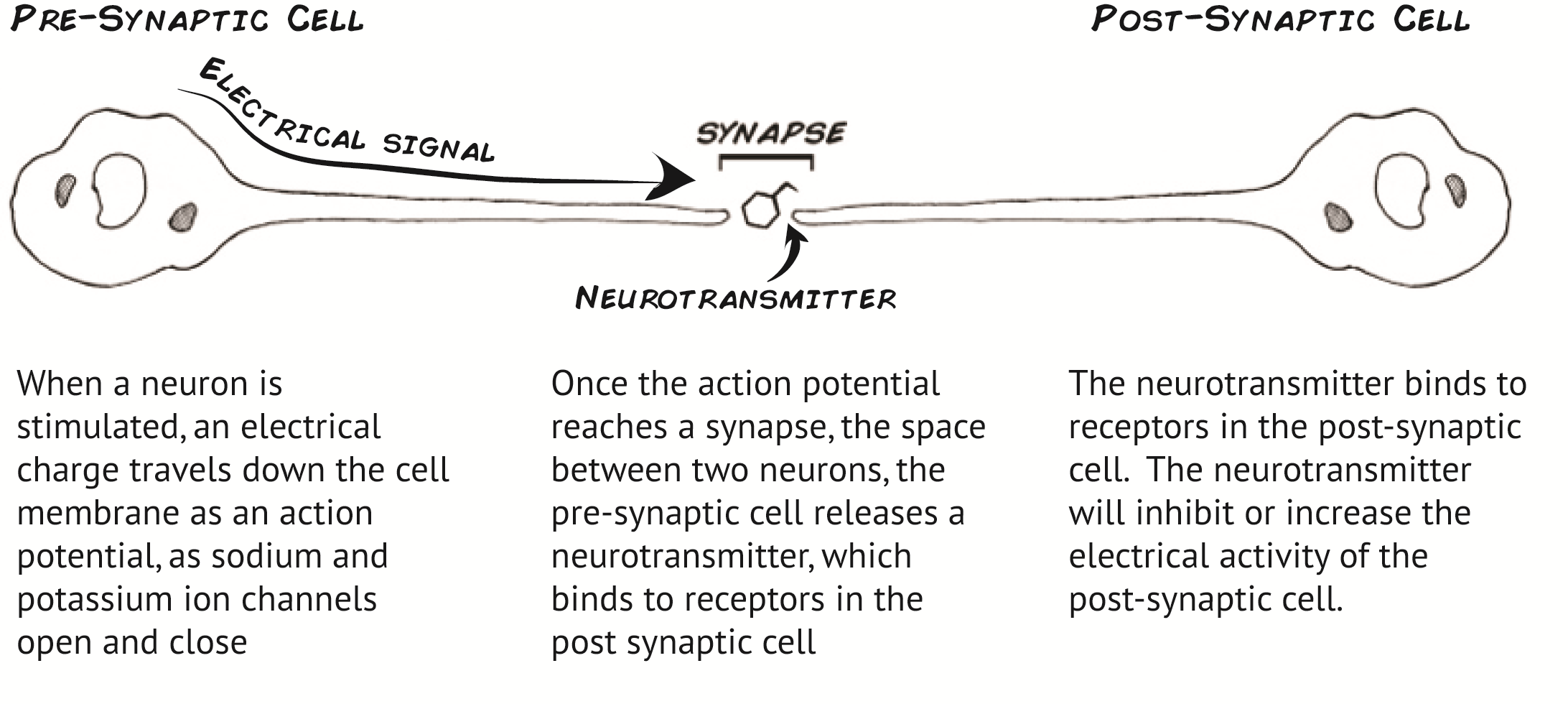 Getting started with the spikerbox how synapses work prepost synapse ccuart Image collections