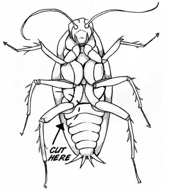 cockroach scientific drawing